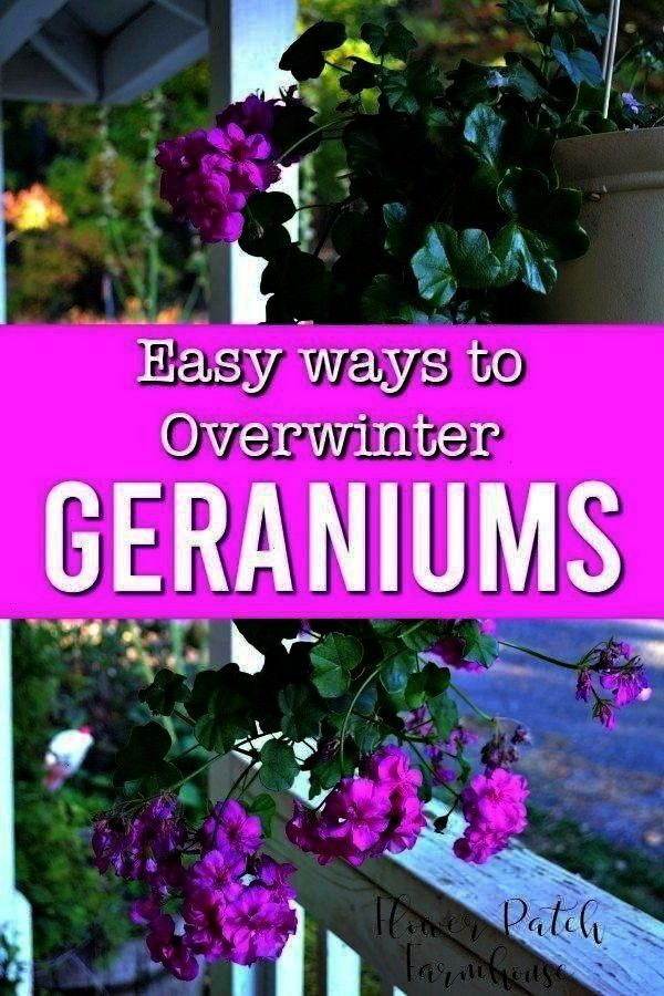 safe when its cold with these easy ways to overwinter geraniumsGot geraniums Keep them safe when its cold with these easy ways to overwinter geraniums See how to take cut...