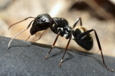 Pavement Ants Black Ant Pest Control Information Types Of Ants Ants Ant Species