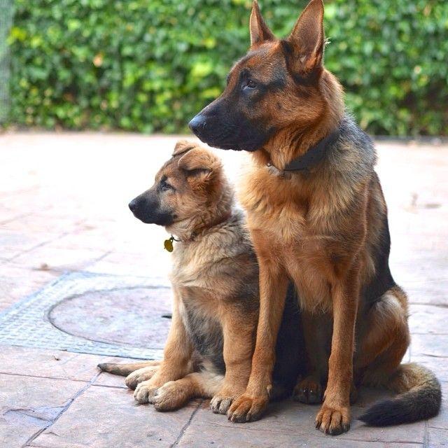 Photo Op Mother And Daughter Via Alvardflac Puppies Shepherd