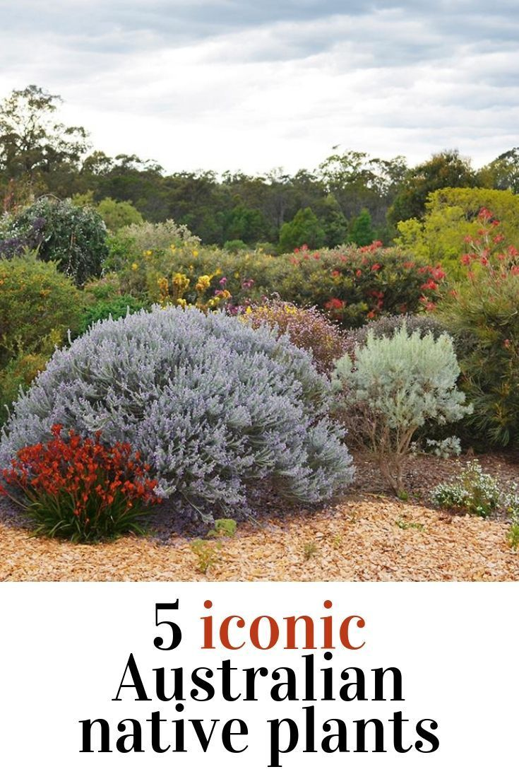 Native Australian Plants Are Drought Tolerant And And Very Low Maintenance Find Austral In 2020 Australian Plants Australian Native Plants Australian Native Garden