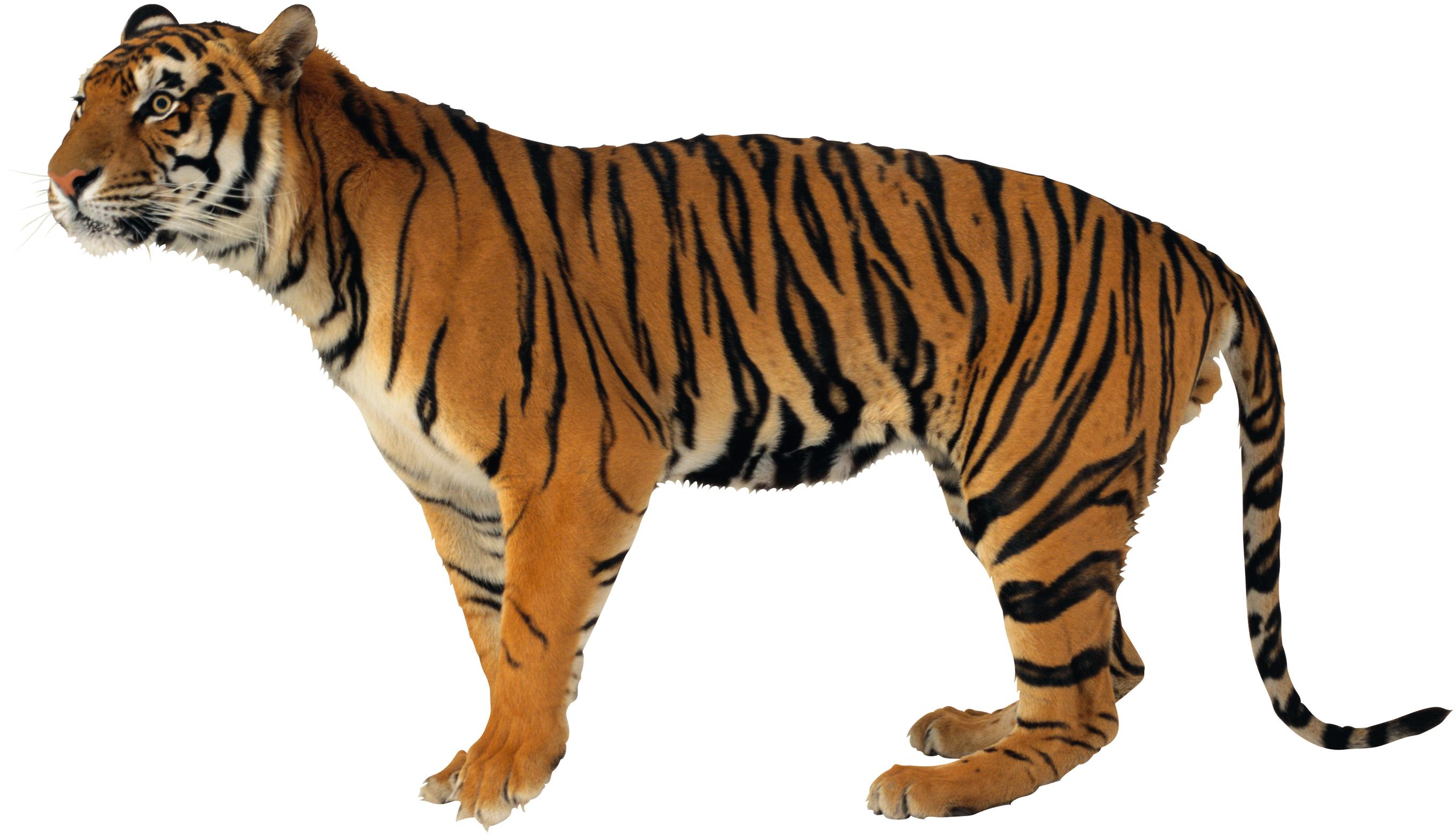 только картинка тигр без фона старых шахматах слон