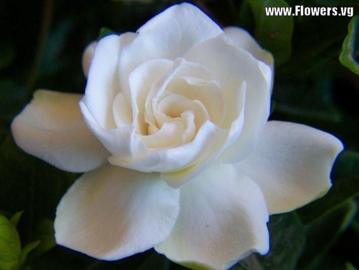 Tweet white gardenia yellow gardenia flower pictures backgrounds tweet white gardenia yellow gardenia flower pictures backgrounds mightylinksfo
