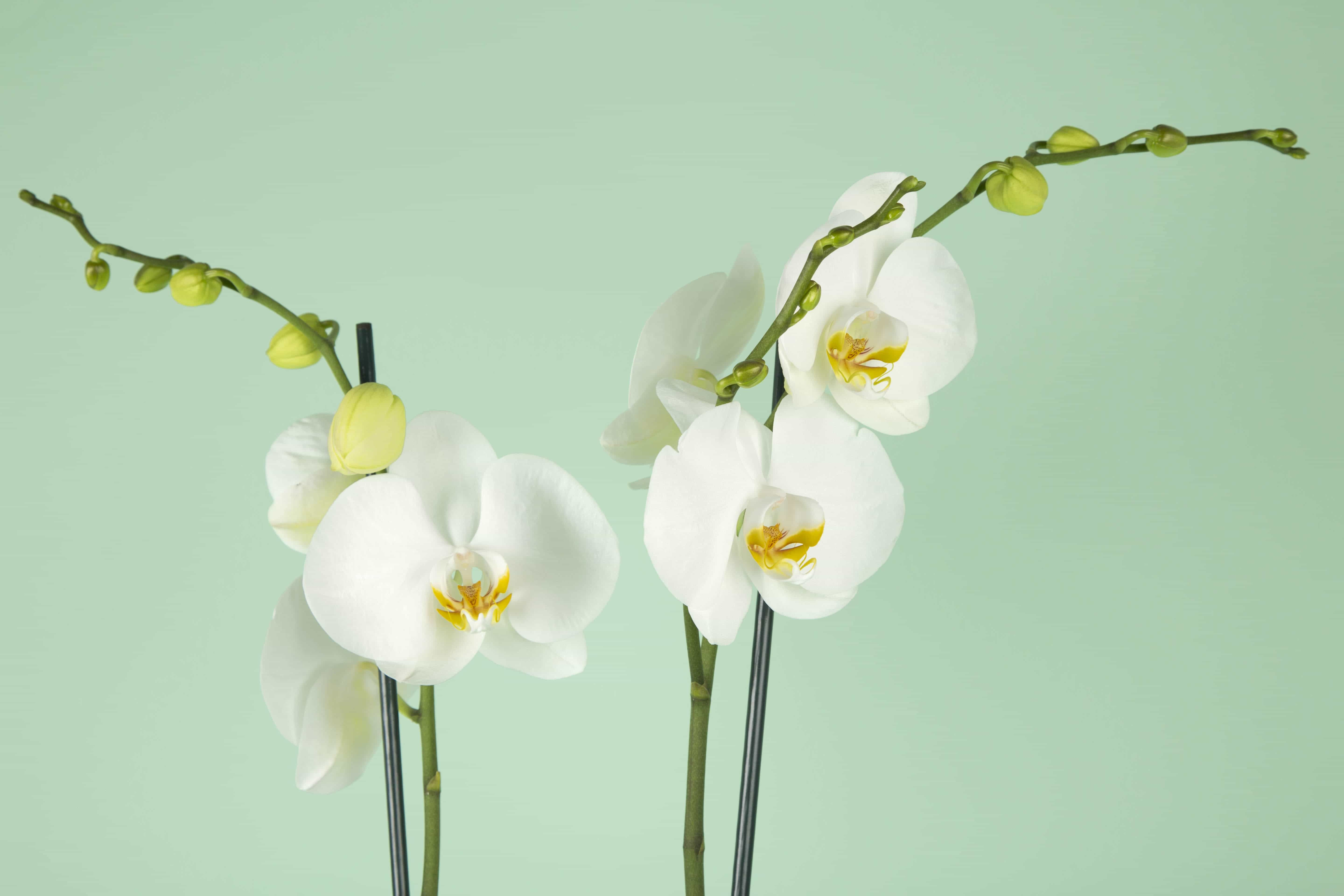 Phalaenopsis Blanches Orchidee Blanche