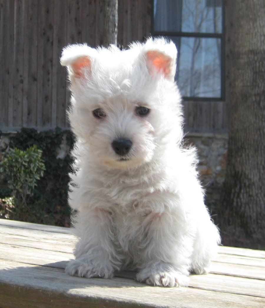 In Arkansas this Westie puppy are a distraction so ...