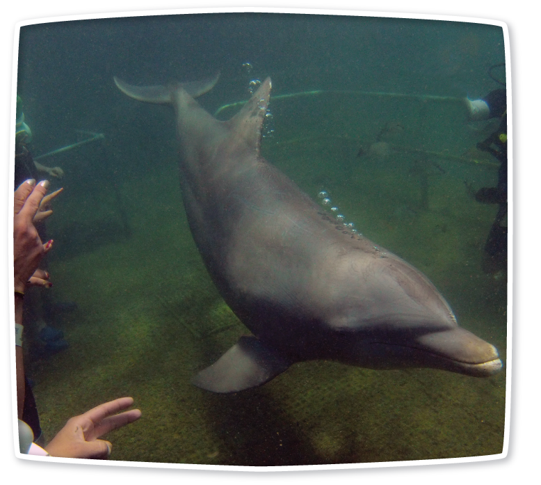Hoping for an unforgettable gift for Mother's Day? Take Mom underwater to meet dolphins! Sea TREK offers a unique program that allows interactions with dolphins in their own environment –underwater! Sea TREK helmet diving is an underwater walking tour. Mom will pet, command, and interact with the smart and friendly dolphins. This will be a Mother's Day to remember! #MothersDay