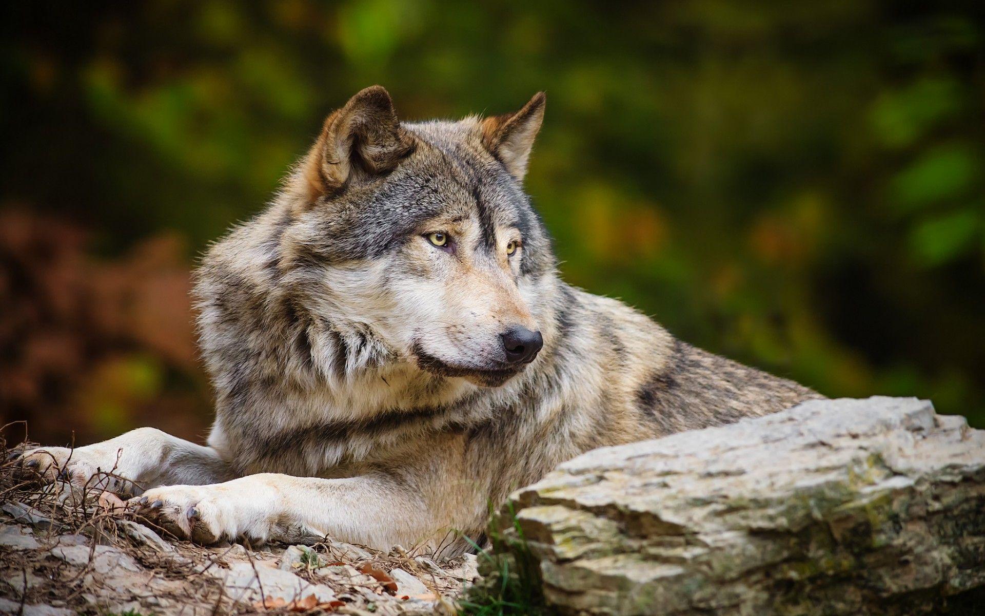 лиф фото волка одиночки на рабочий стол жизни, как