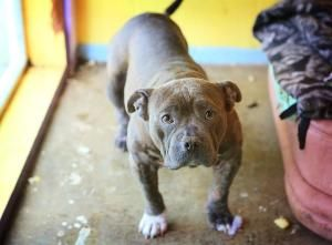 I Found Piggy Sue On Petfinder Pitbull Terrier Bull Terrier Dog Adoptable Pit Bulls