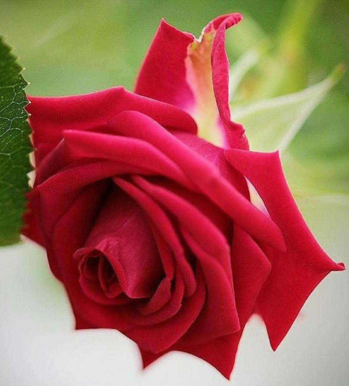 Orchidee Meravigliose Trucchi E Segreti pin di leonetta persia su roses (con immagini) | rose rosse