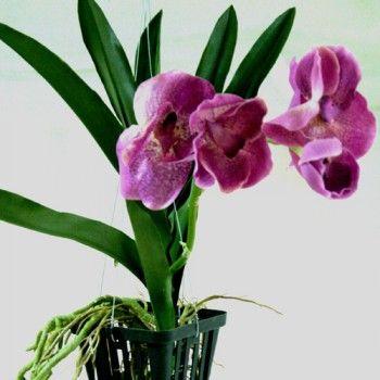 l 39 orchid e vanda suspension avec racine et crochet une tr s belle r alisation petite id e. Black Bedroom Furniture Sets. Home Design Ideas