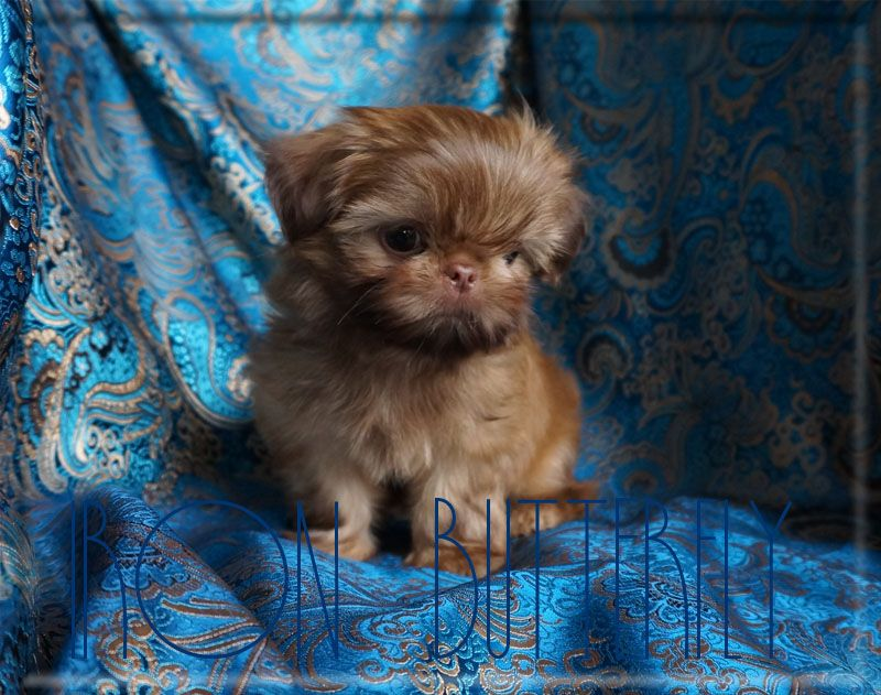 Iron Butterfly Chinese Imperial Shih Tzu Tiny Teacup Puppies For