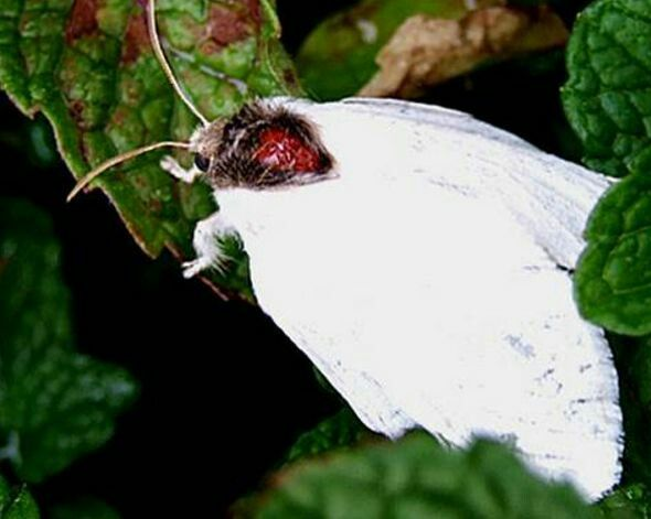 Albino Moth