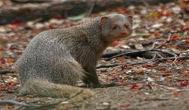 What Animals Live In Hawaii Mongoose Animals Animal Kingdom