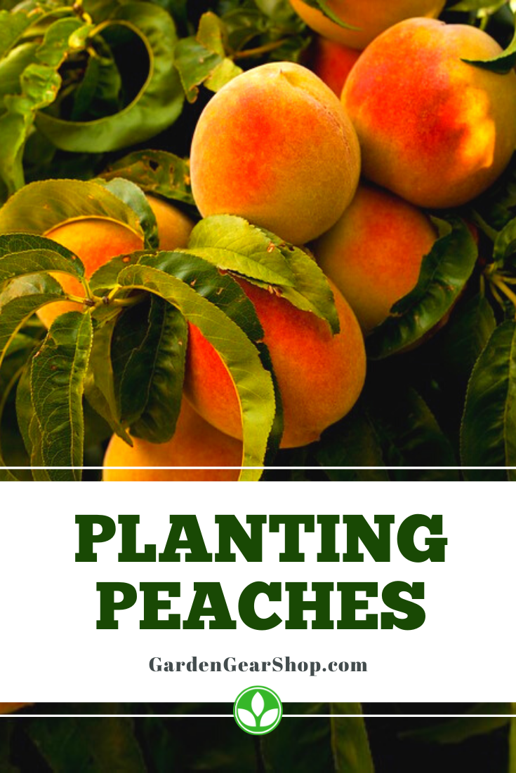 Planting Peach Trees Peach Peach Trees Peach Tree Care