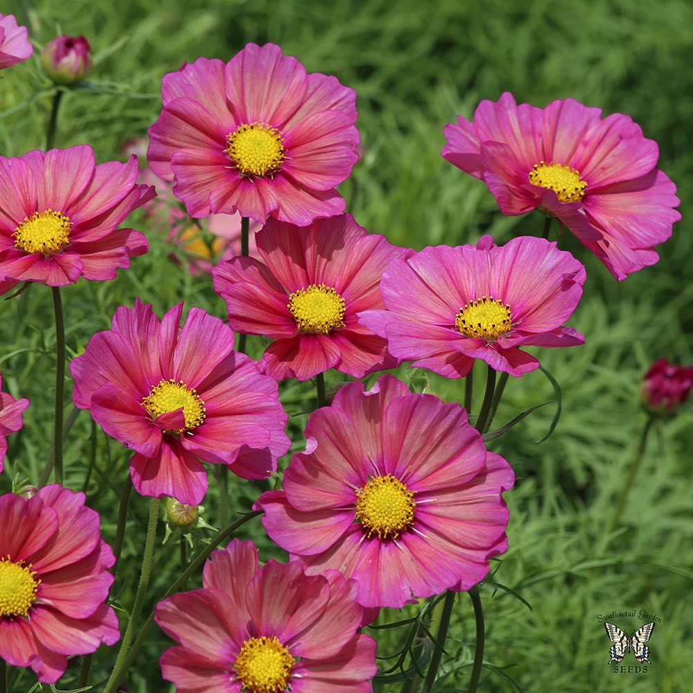 Pin By Sonyalove On Flowers Seeds In 2020 Annual Flowers Flower Seeds Cosmos
