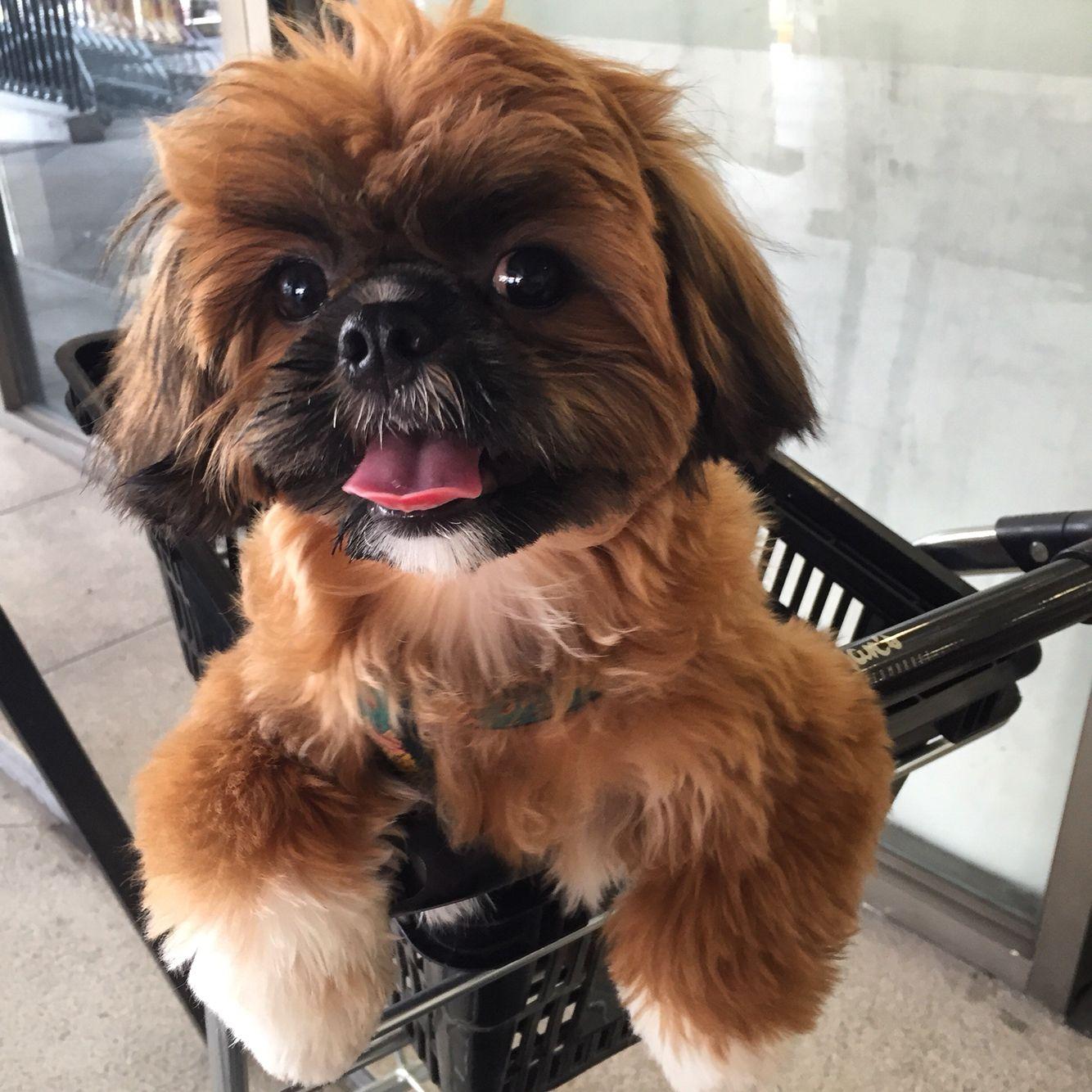 Boomer Red Shih Tzu With Black Mask Shih Tzu Puppy Shih