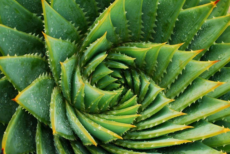 Procedural Modeling With Pflow Plante Aloes Aloe Vera Coleus