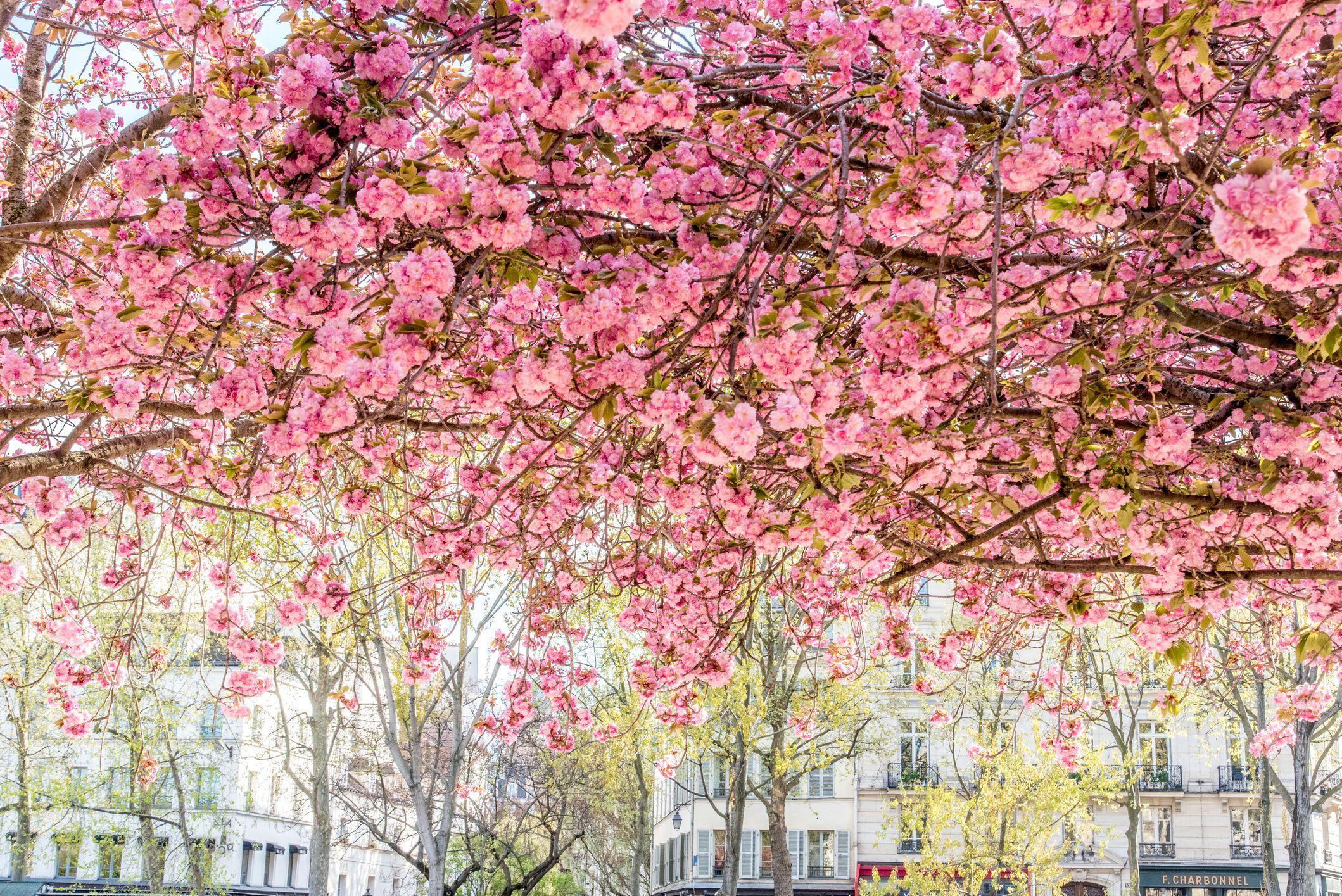 Cherry Blossoms A Washington Dc Tradition I Rightplantz Com How To Grow Cherries Blossom Cherry Blossom Tree