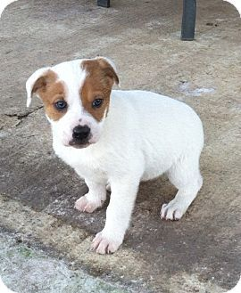 English Bulldog Beagle Mix Puppy For Adption In Starkville