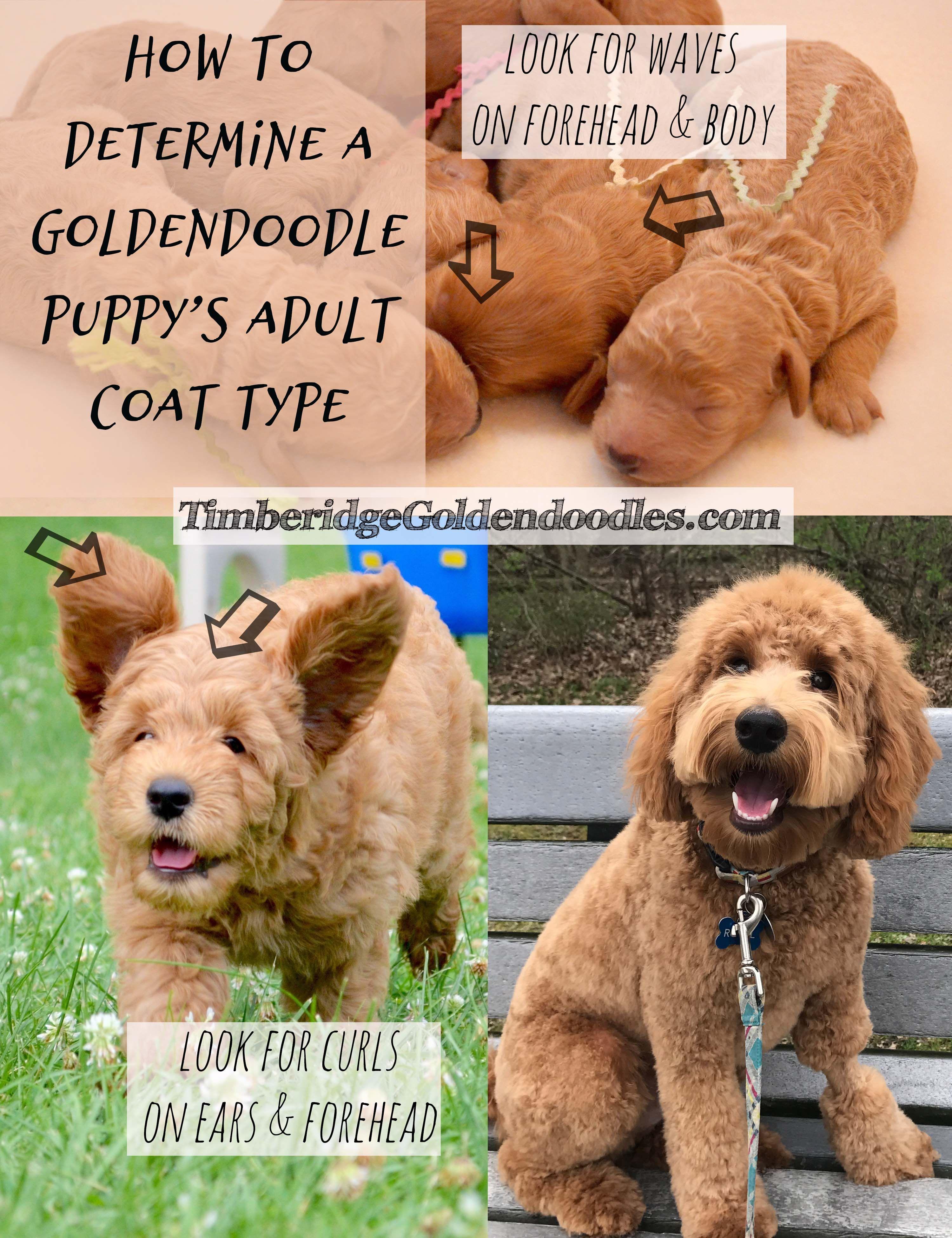 Goldendoodle Coats Goldendoodle Goldendoodle Puppy