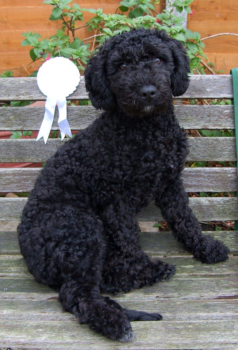 Spanish Water Dogs Spanish Water Dog Puppy Time Water Dog