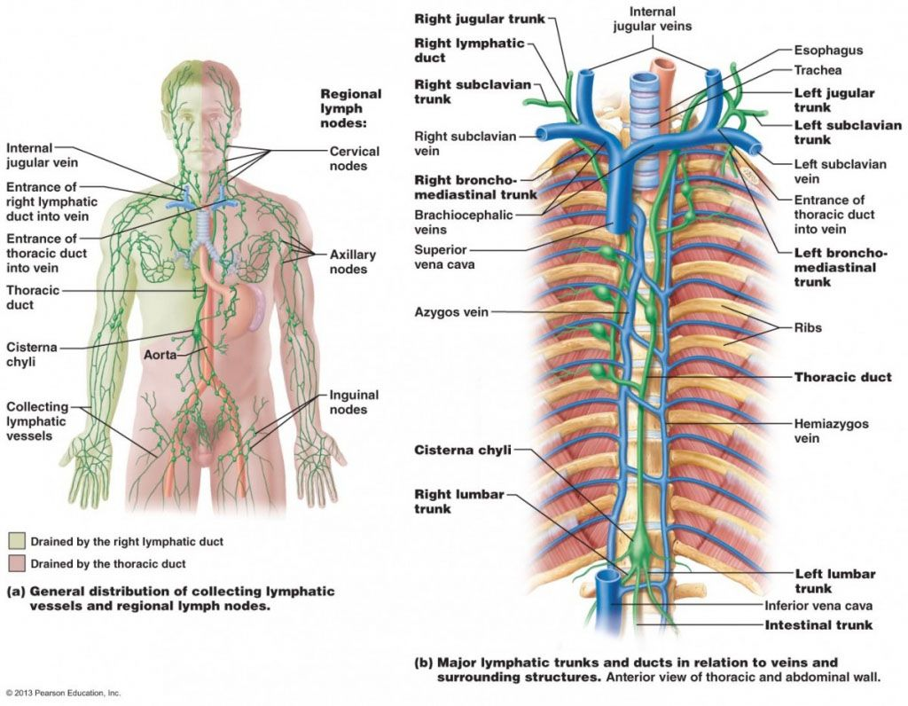 medium resolution of major lymphatic trunk and ducts in relation to veins and surrounding structure anterior view of the