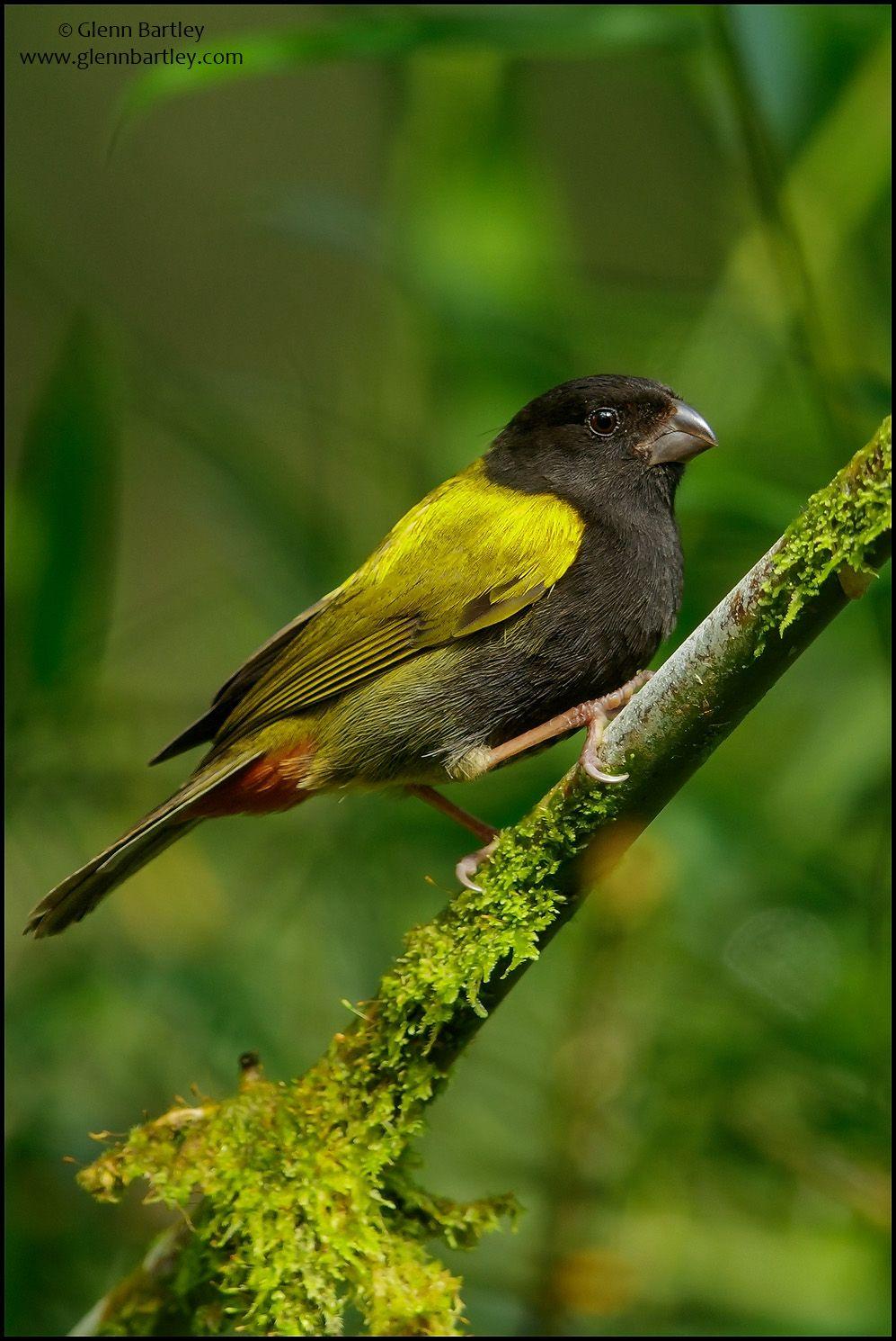 Yellowshouldered Grassquit Birds of Jamaica! Passaro