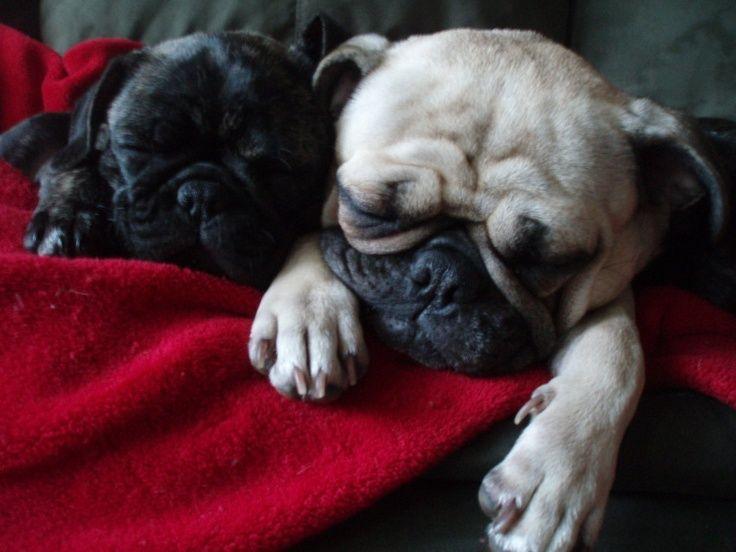 bulldog pug mix - Yahoo Search Results Yahoo Image Search Results