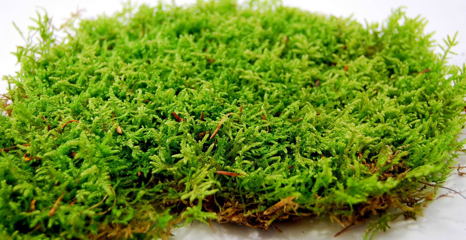 gbp live moss low carpet for terrariumvivariumfrogs orchids