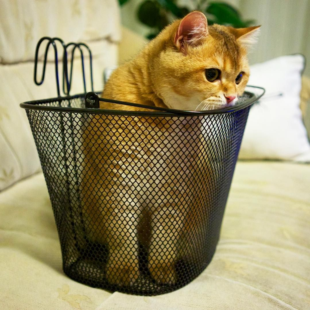 Hosico In Basket Love Cute Beautiful Cat Cats - Hosico the cat is pretty much the real life puss in boots