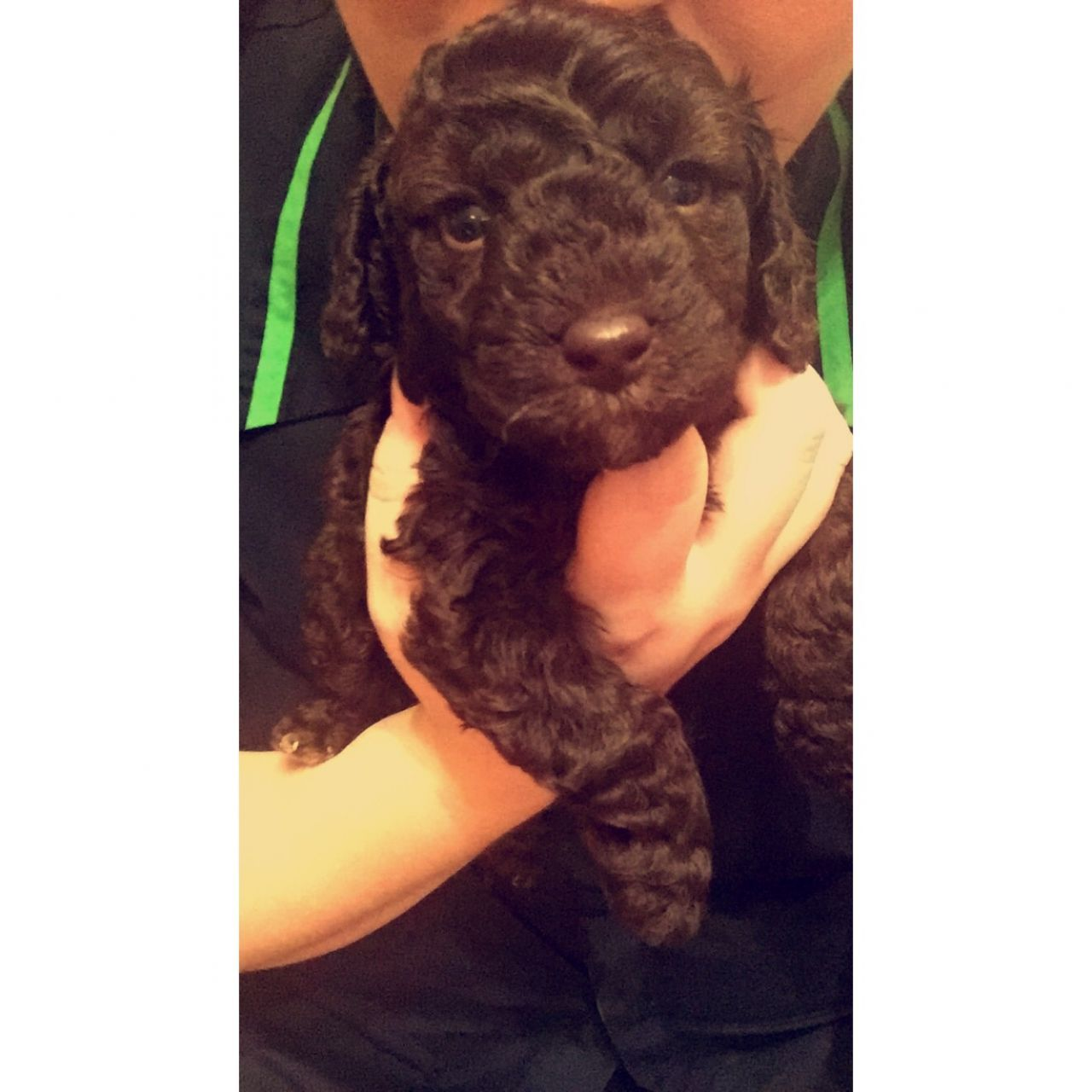 Male Chocolate Toy Poodle Puppy For Sale Poodle Puppies For Sale