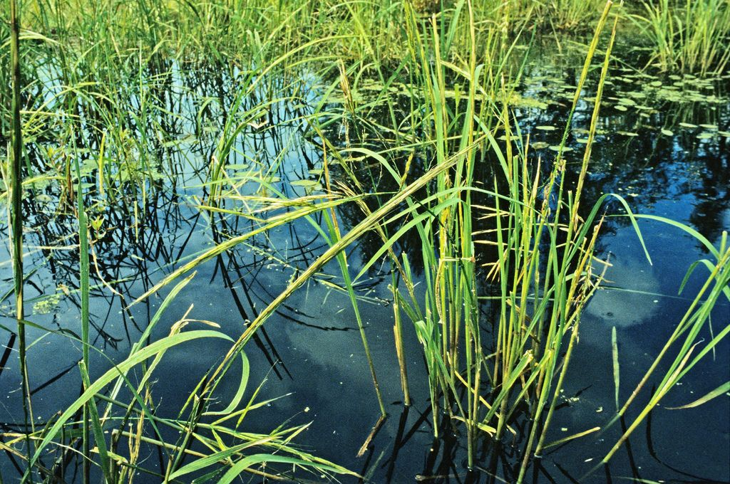 Last winters late end may impact this years Minnesota Wild Rice crop. Most Wild Rice Not Ready For The Aug 15th Harvest Season Opener! Read the whole story here http://outdoornewspaper.com/wild-rice-ready-aug-15th-harvest-season-opener/