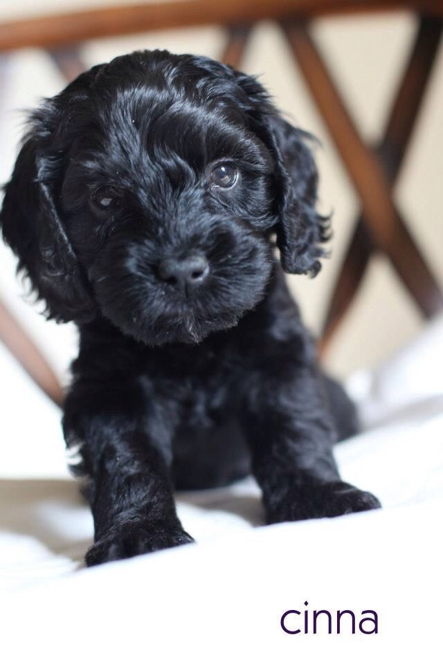 Cutest Black Australian Labradoodle Puppy 6 Weeks Old Cuddly