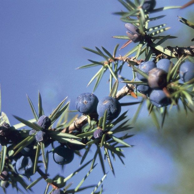 Protect British juniper or risk losing gin's distinctive flavour (Wired UK)