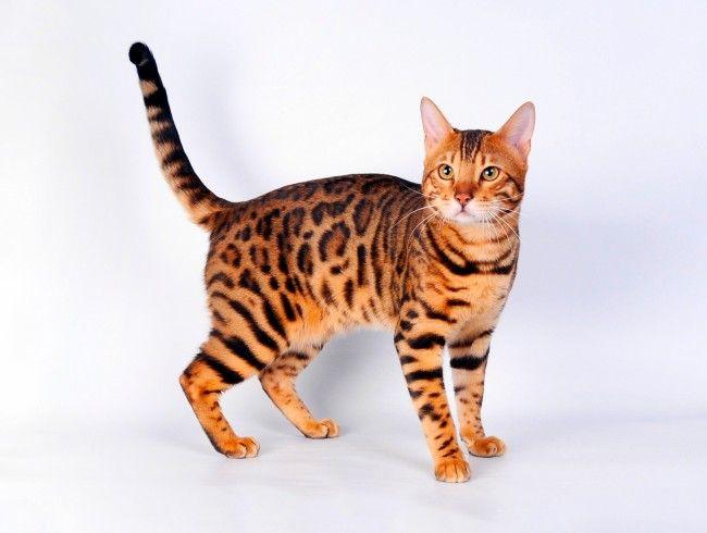 кот бенгальский картинки