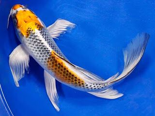 Butterfly koi is one type of koi fish are very unique and for Koi fish dealers