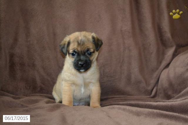 Jug Puppy for Sale in Ohio BuckeyePuppies Jug Puppies