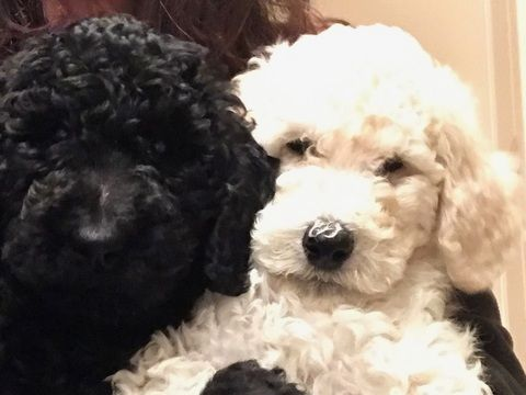 Litter Of 5 Poodle Standard Puppies For Sale In Corning Ca Adn