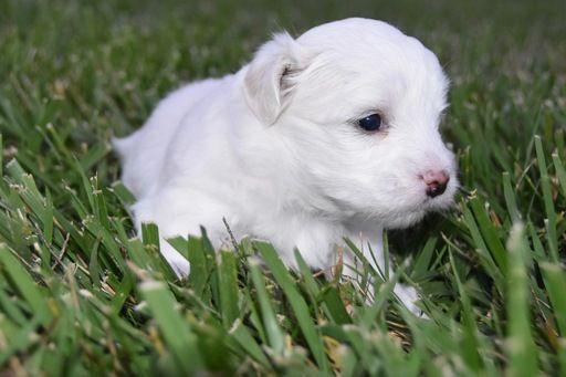 Coton De Tulear Puppy For Sale In Cincinnati Oh Adn 46954 On