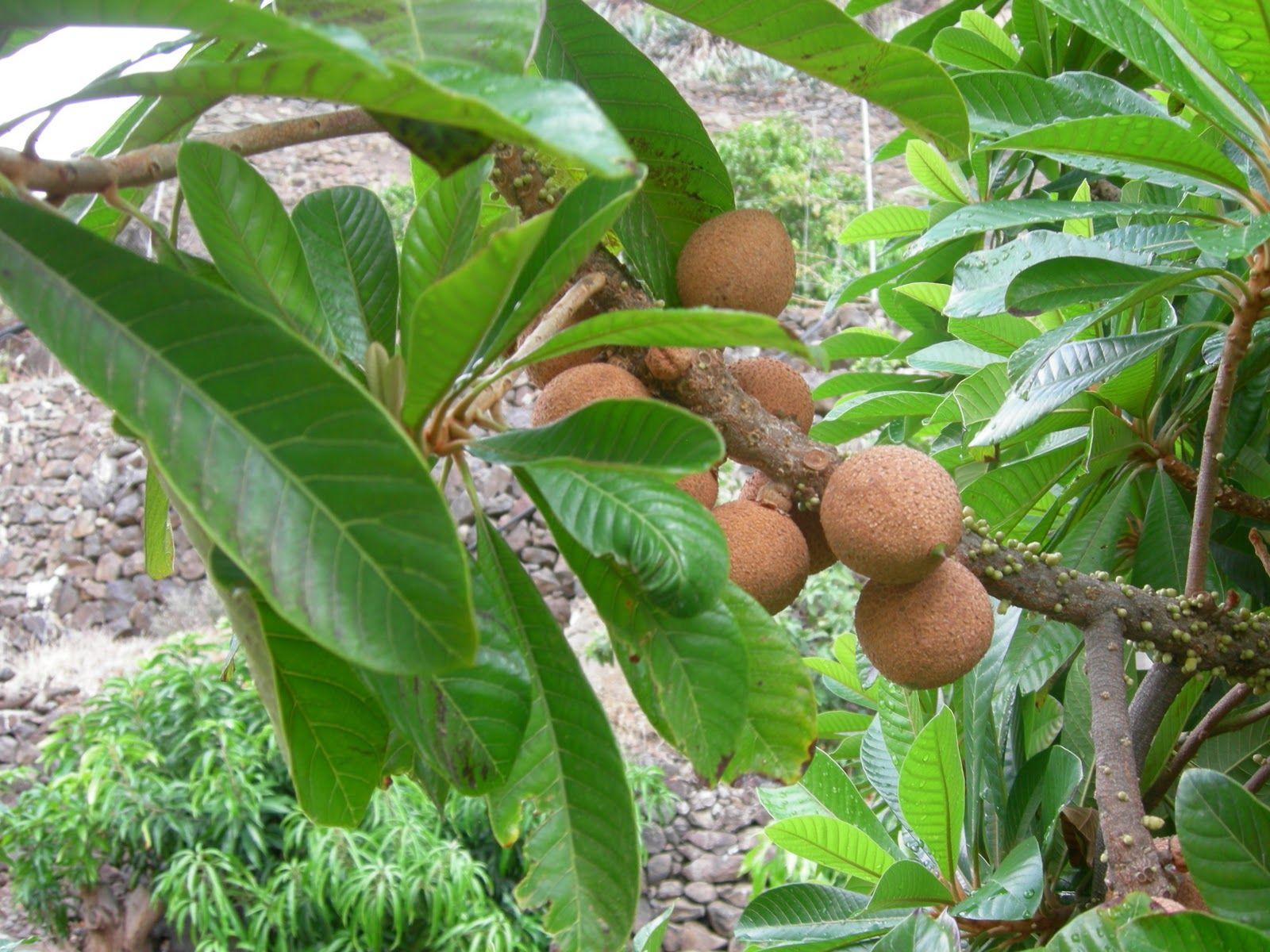 Arbol de mamey mexicano conocido también como nispero o ...