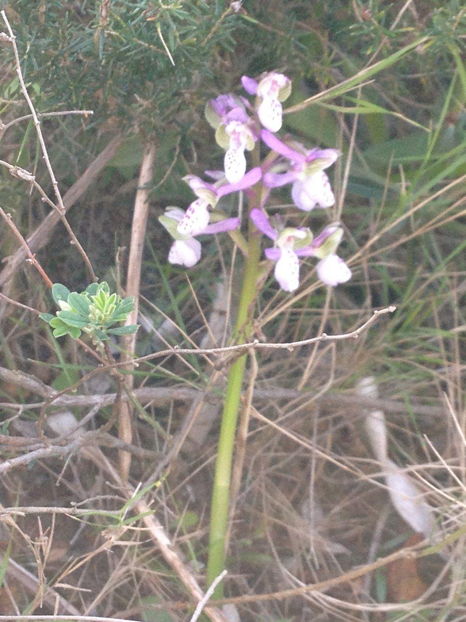 orchidee sauvage ajaccio