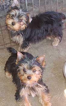 Yorkshire Terriers San Diego