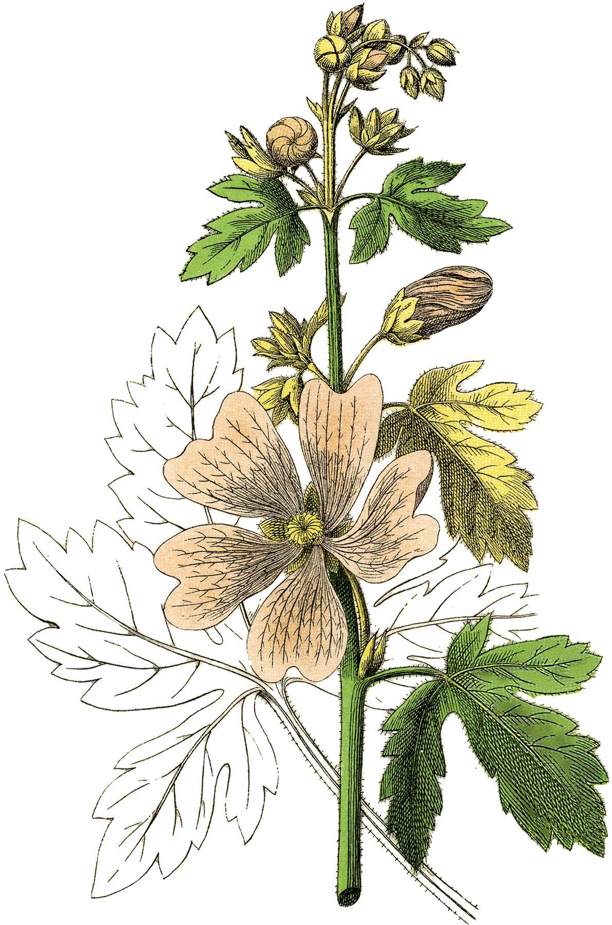 Pink Botanical Flower Image | Vintage Artwork | Botanical ...