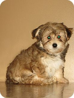 Theo Yorkie Bichon Mix Possible Puppies Pinterest Puppies