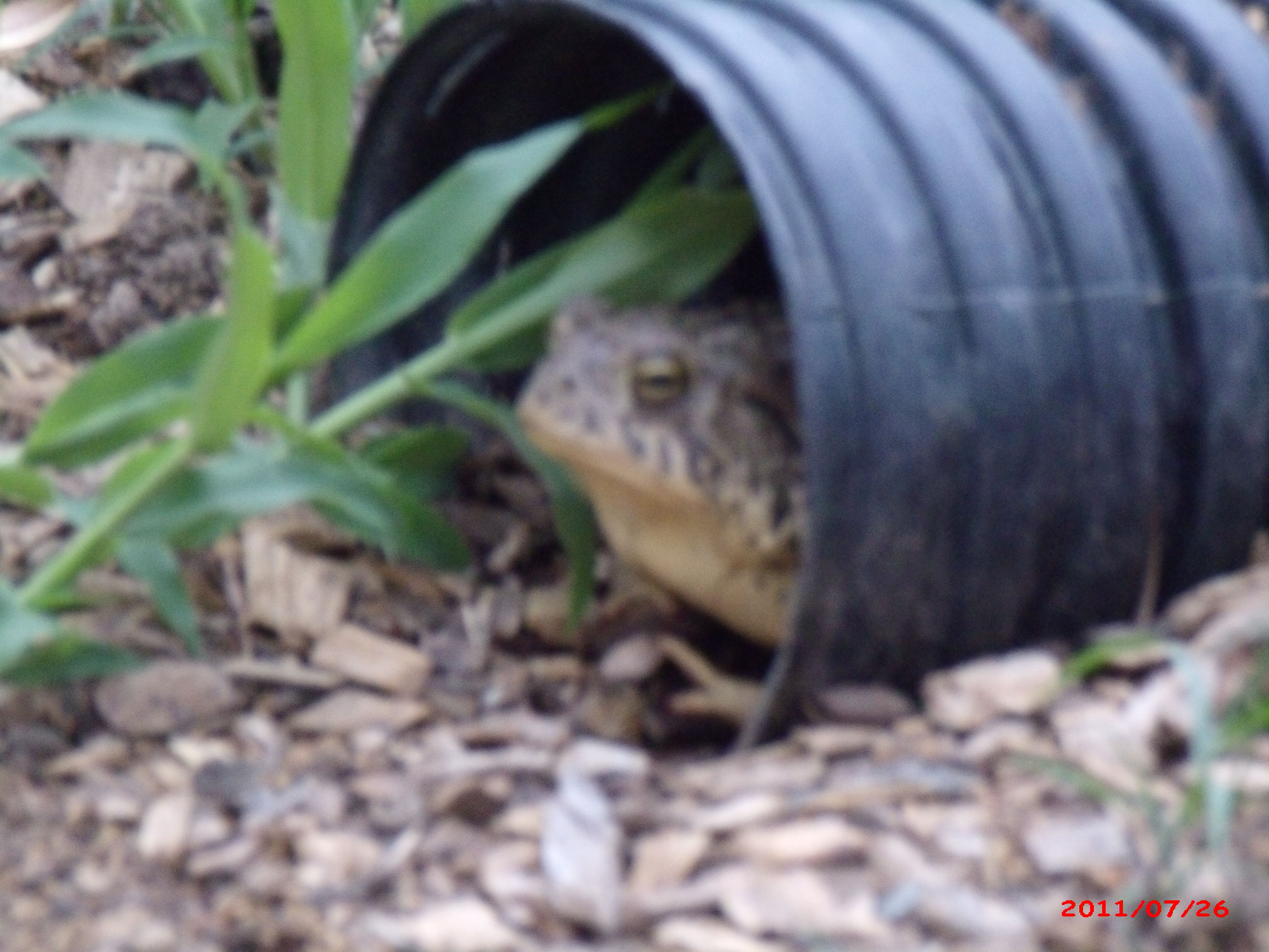 This is our desert toad. Comes out just when it rains and at night ...poor thing there is not much rain this year.