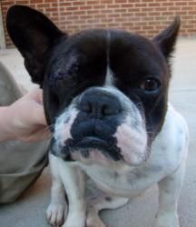 Willow Is An Adoptable French Bulldog Dog In Raleigh Nc I May