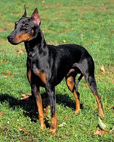 Dog Agility Course Dog Agility Course Manchester Terrier Dog Agility