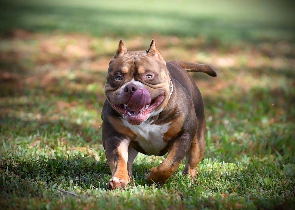 Top American Bully Kennels Venomline S Pocket Bully Studs Have