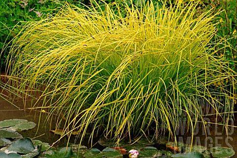 CAREX ELATA AUREA (BOWLES GOLDEN SEDGE) | Ornamental grasses | Pinterest