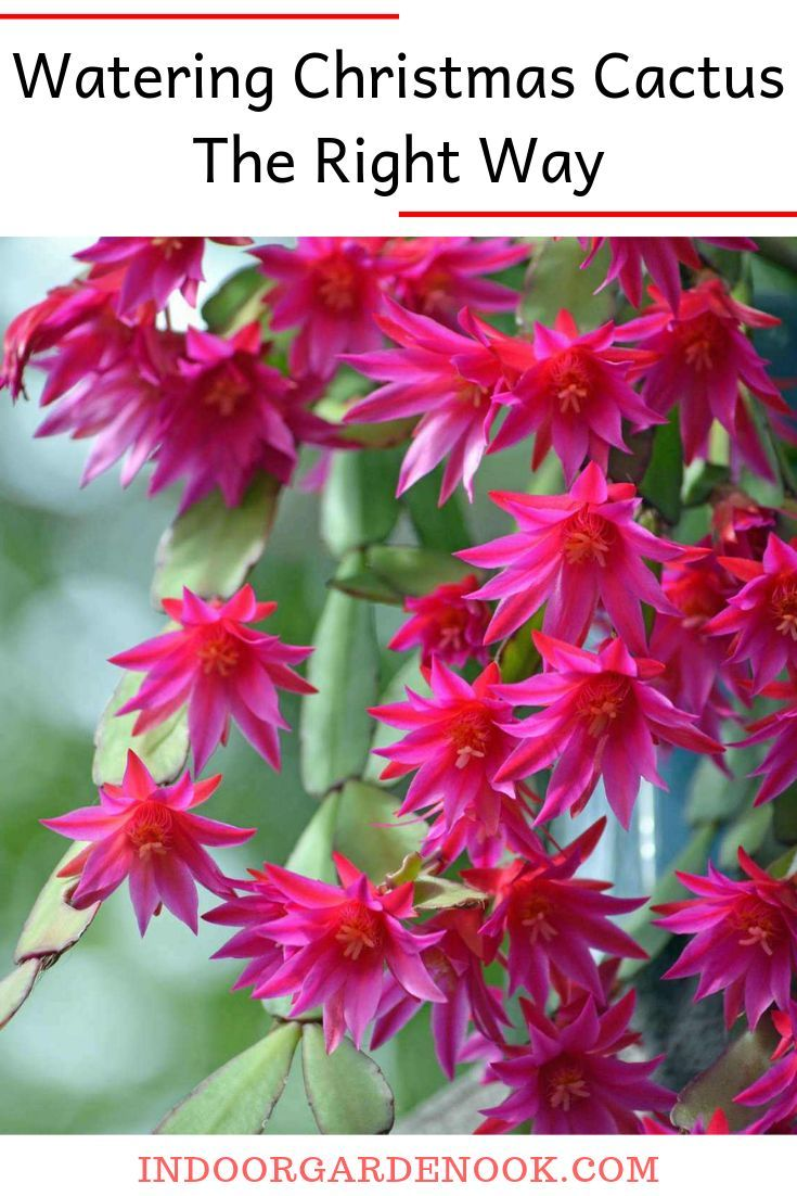 Watering Christmas Cactus The Right Way Jardinage Jardinage Potager Et Orchidee