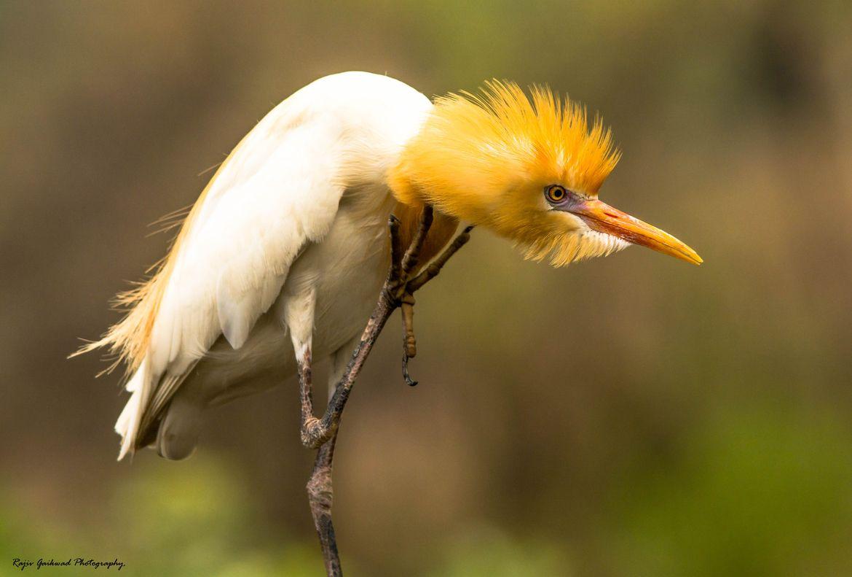 India Angry Bird Bird Bird Species Angry Bird